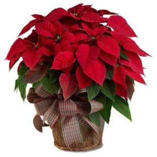 large-red-poinsettia-flower-arrangement-from-artistic-flowers-in-lake-oswego